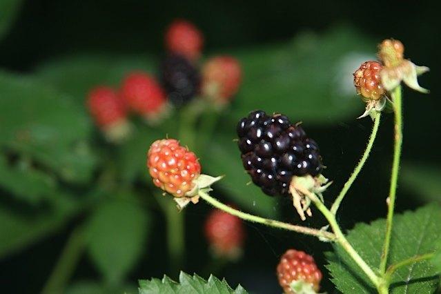 backyard blackberries