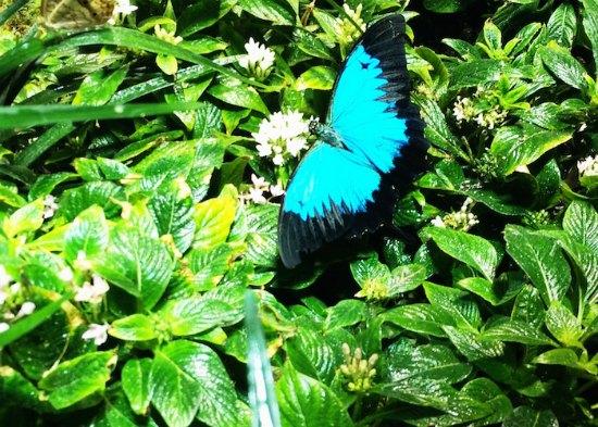 Australian blue butterfly
