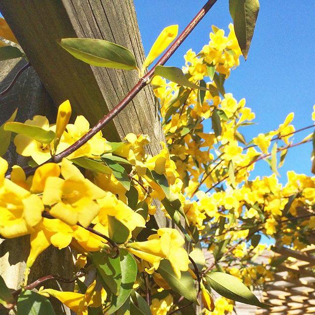 jasmine on the vine